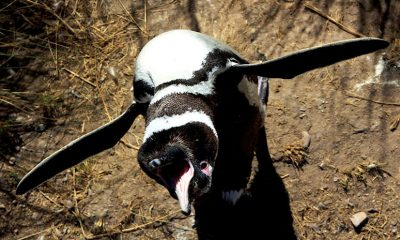 Temporada pingüinos Punta Tombo
