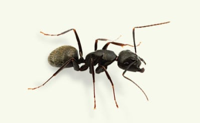 carpenter ant exterminators