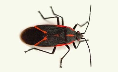 boxelder bug exterminators