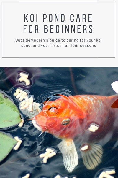 koi pond care for beginners
