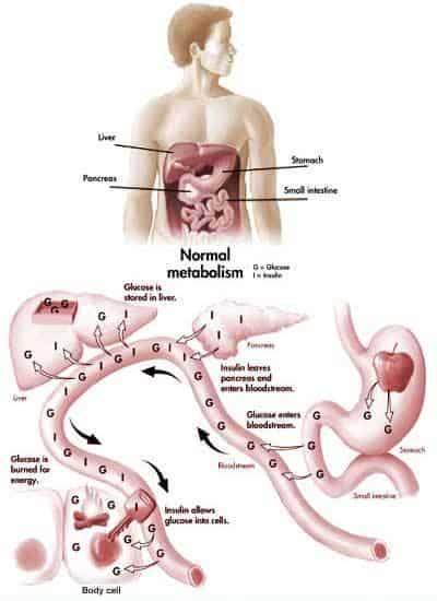 Normal Metabolism