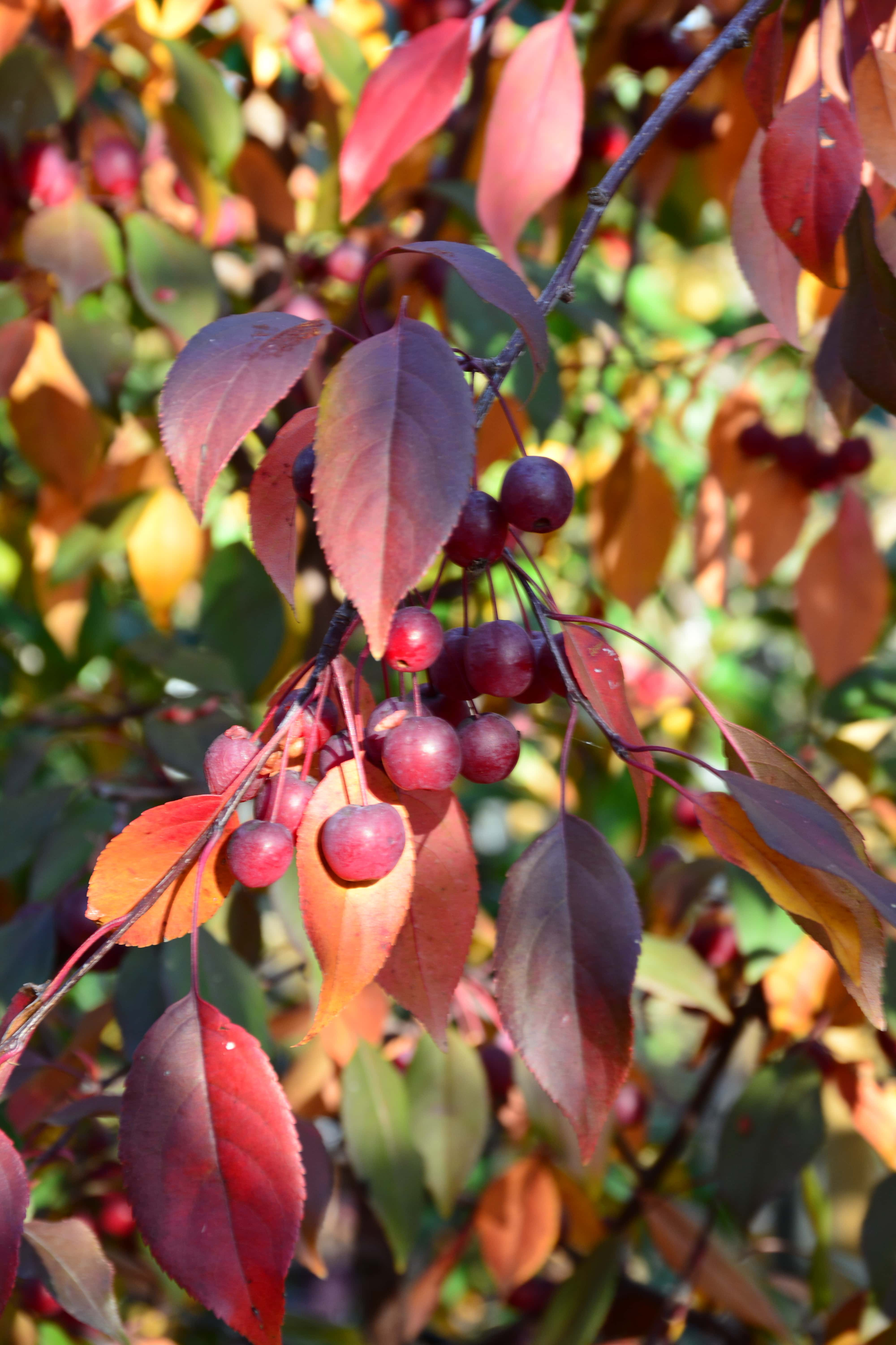 Pink Spires Crabapple Fall Colors