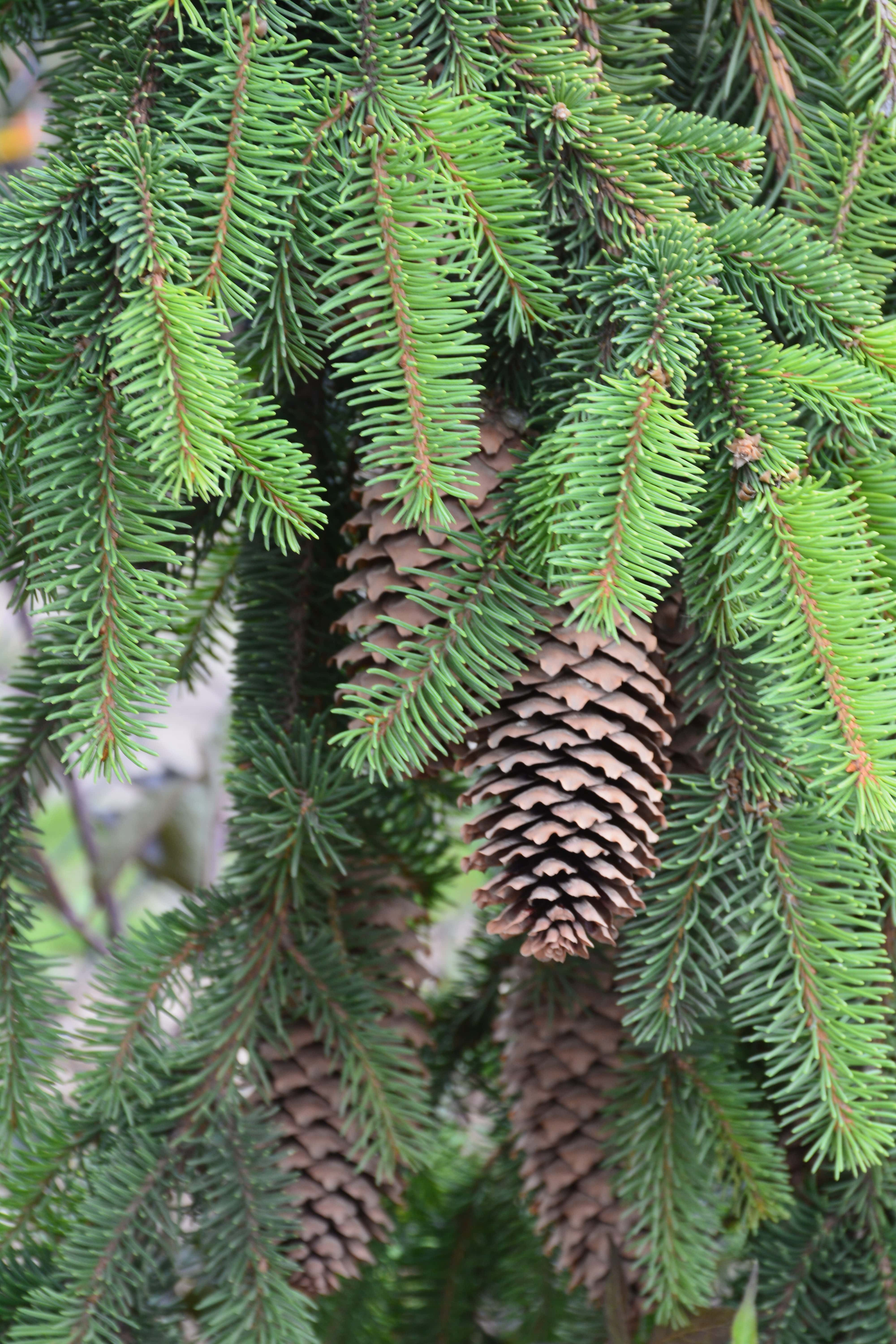 Weeping Norway Spruce Cone Close Up