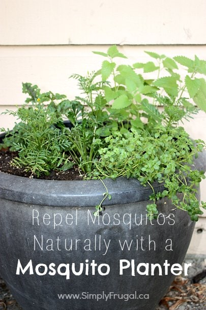 Repel mosquitoes naturally with a mosquito planter!