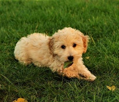 Miniature goldendoodle breed types sizes standard medium teacup