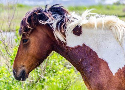Head shot of Tri-color Wild Horse