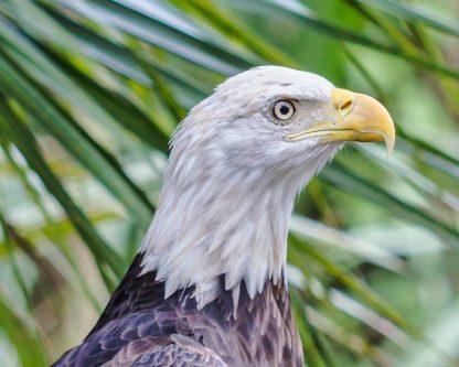 Bald Eagle head shot