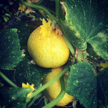 Crystal lemon cucumber
