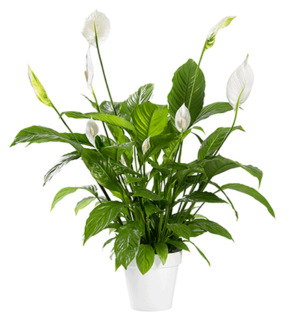3-peace-lily