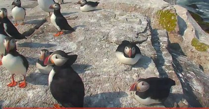 Image: Puffin flock gathered on a rock