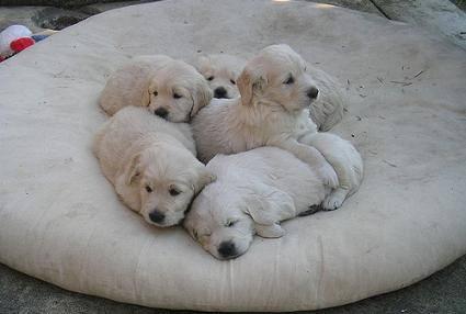 Where to get a Labrador: 5 Labrador puppies on a beanbag