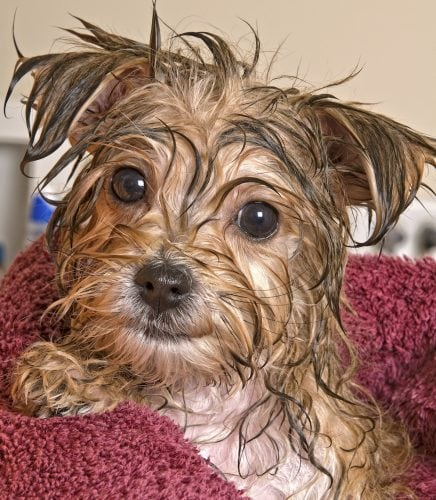 Morkie puppy after a bath