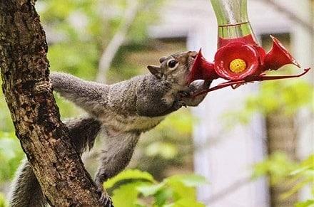 Squirrel Drinking From Hummingbird Feeder