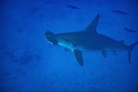 Large Scalloped Hammerhead