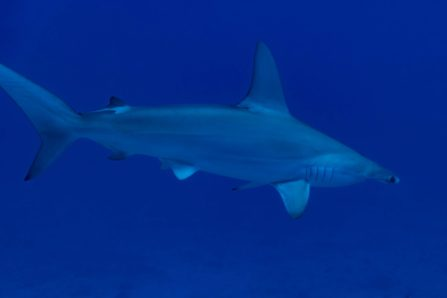 Scalloped Hammerhead In Close