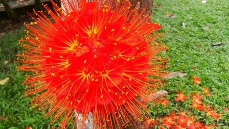 Common Plants of the Amazon Rainforest, Brownea Flowers