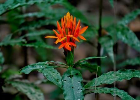 Common Plants of the Amazon Rainforest, Aphelandra ACANTHACEAE