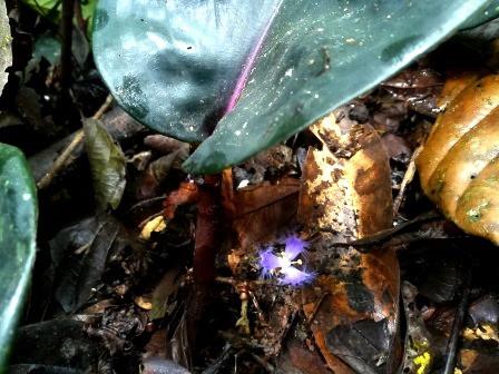 Common Plants of the Amazon Rainforest, Geogenanthus