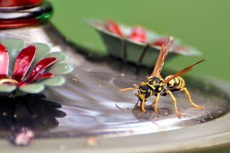 Wasp Drinking from Hummingbird Feeder