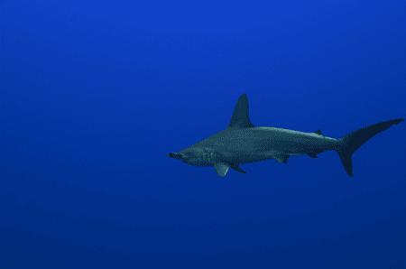 Hammerhead-Shark-Molokai