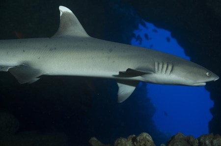 Knob Hill, White-tip Reef Shark, Steven W Smeltzer,