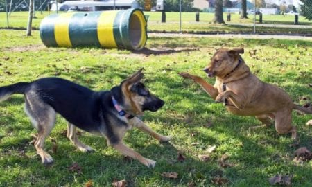 german shepherd dog playing at dog parks