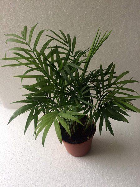 Chamaedorea Mini Palm with Ceramic Pot