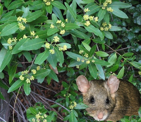 Nibbled leaves of the California Bay Laurel are used to line Ms. Packrat's pantry.