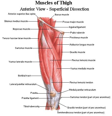 Anterior Thigh Anatomy
