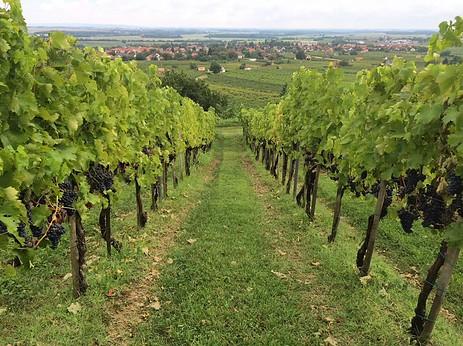 vingård Villányi, Ungern