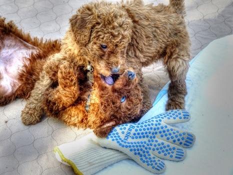 Goldendoodle temperament intelligence trainability excitement energy level