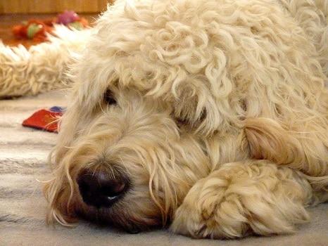 How old do goldendoodles get grow maximum age lifespan