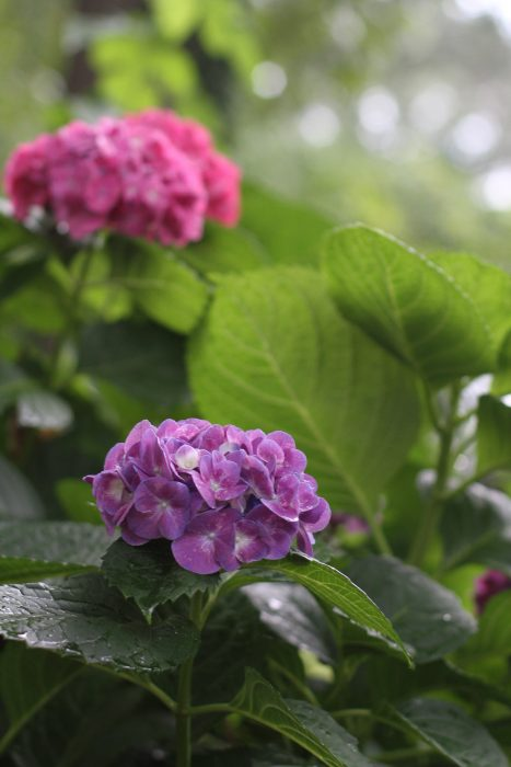 pruple and pink hydrangea blooms