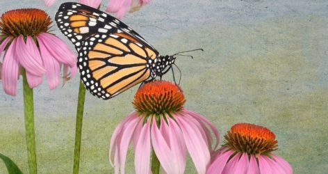 The Miracle of Monarchs Monarchs Matter by Cathie Moog Dedicated Review