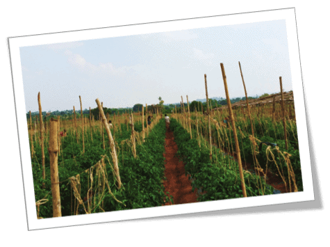 A picture of a tomato field in India