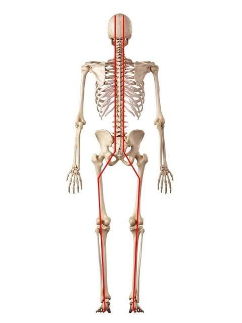 Die Myer´sche Rückenlinie verläuft dorsal von der Augenbrauenwulst bis zur Plantarfaszie.