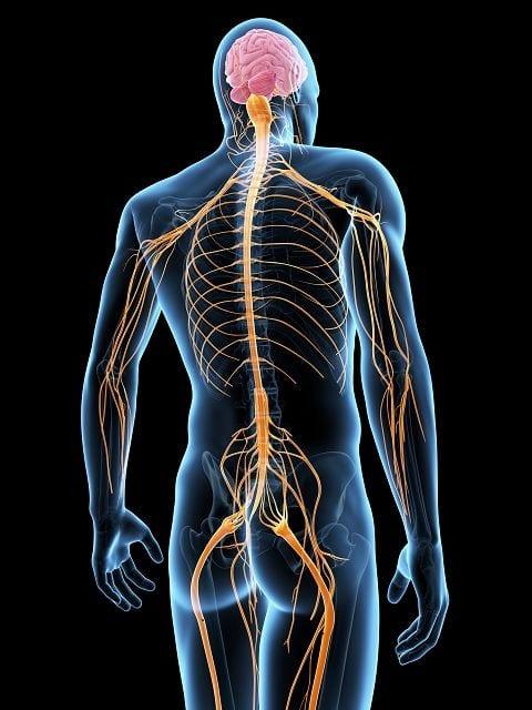 Verletzungen sogenannte noxische Reize werden durch das nozirezeptive System von den Nervenenden an das Gehirn weitergeleitet.