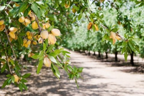 Almonds in an almond orchard