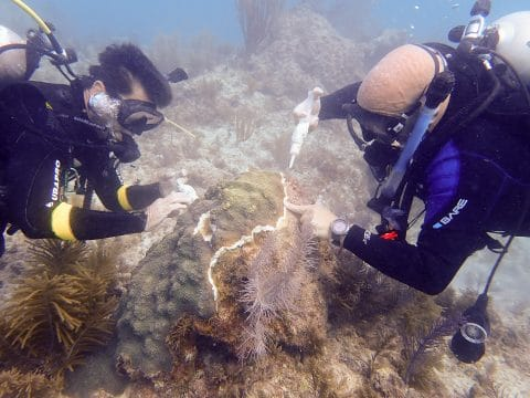 Stony Coral Tissue Loss Disease Mission Reaches Half-Way Point