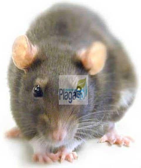 plaga ratas córdoba