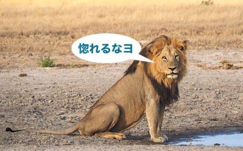 雄のアフリカライオン