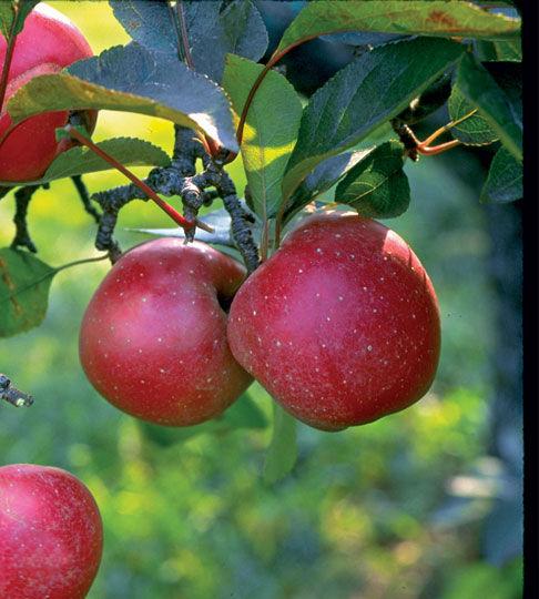 harcourt apple fruit