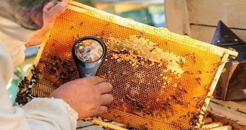 Beekeeper Inspecting Varroa Mites