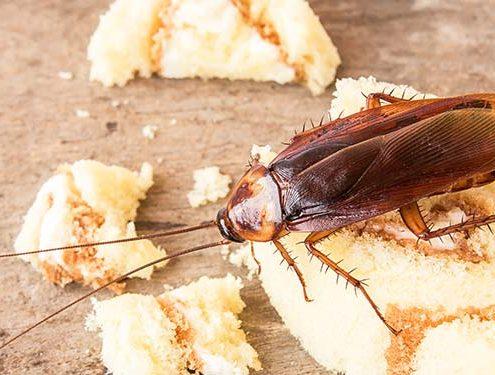Cucarachas en el hogar o empresa