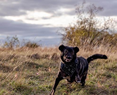 Hundeportrait in Action fotografiert mit der Canon EOS R6 & RF 28-70mm f/2.0L USM im Abendlicht