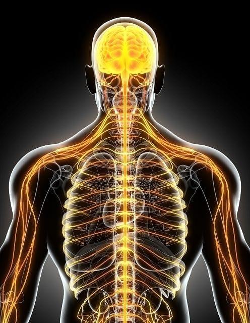 Das ZNS besteht aus Gehirn und Rückenmark. An ihm angeschlossen ist das (PNS) bestehend aus allen Nerven außerhalb des ZNS (z.B. den Spinalnerven). Das ZNS übernimmt Funktionen wie die Verarbeitung aller Reize aus dem Körper zugeleitet werden, Steuerung der Motorik, Regelung zusammen mit dem Hormonsystem aller Körperfunktionen. Das PNS übernimmt die Aufgaben der Wahrnehmung sensorischen Signale der Umwelt, sowie die unwillkürliche als auch willkürliche Motorik.