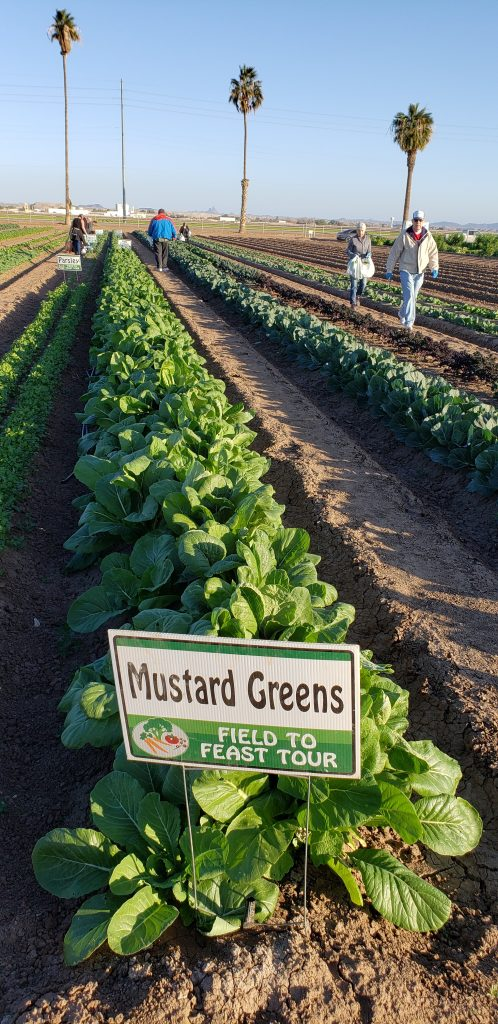 "Row of leafy greens growing in dirt field. Sign on row says ""Mustard Greens."""