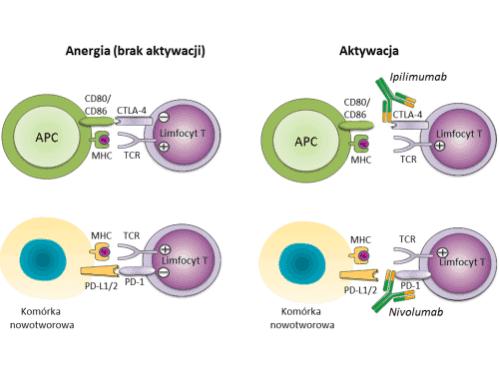 Ryc. 1 Zahamowanie aktywności limfocytów T poprzez punkty kontrolne oraz ich reaktywacja po związaniu przeciwciał monoklonalnych (ipilimumabu i nivolumabu) z receptorami CTLA-4 i PD-1. Skróty: Ag: antygen; APC – komórka prezentujaca antygen (ang. antigen presenting cell); CD80/CD86: cząsteczki ko-stymulujące, ligandy receptora CTLA-4; PD-L1/2: ligandy receptora PD-1.