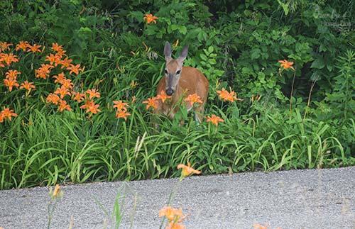deer eating daylillies