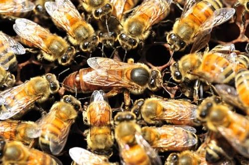 Honey Bees Attracted to Nasonov Pheromones